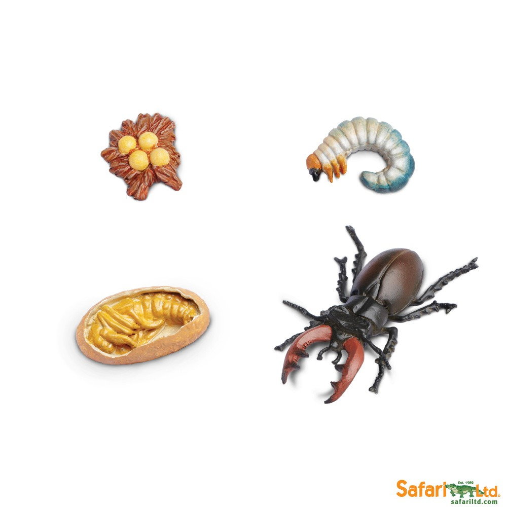 LIFE CYCLE OF A STAG BEETLE - Best Educational Infant Toys ...